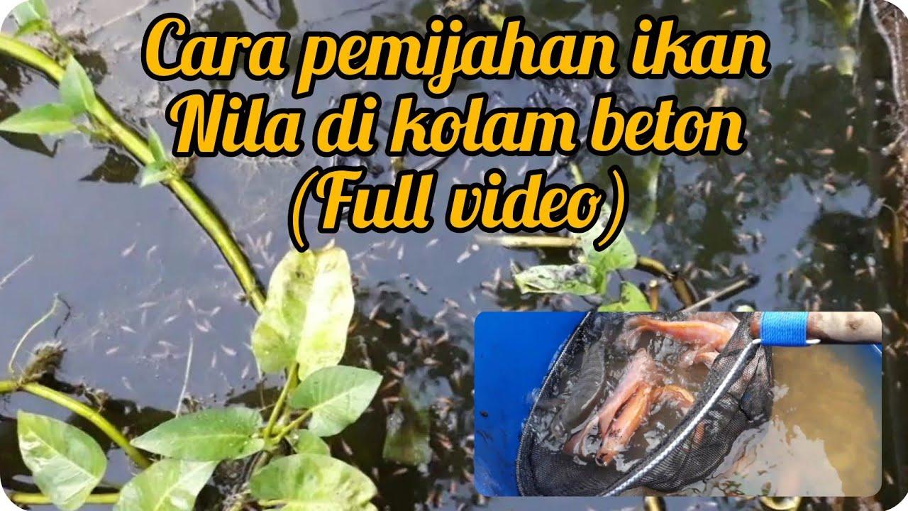 Cara pemijahan ikan nila di kolam beton - YouTube