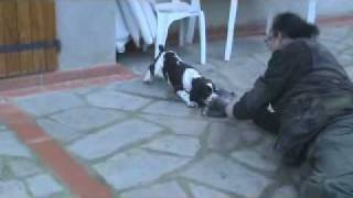 Training A Puppy Of English Springer Spaniel