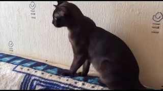 Бурманские кошки. Poetry In Motion. Нора.