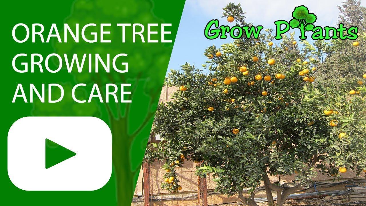Orange Tree Growing And Care