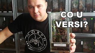 Baixar Terrarium Caribena versicolor 🕷 #2 - przegląd po 30 dniach! Info o konkursie!