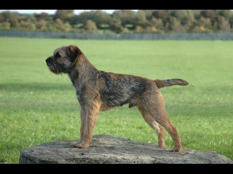 Бордер терьер (Border Terrier)
