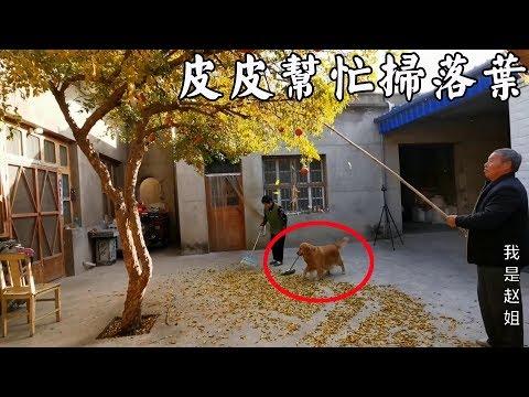 天冷樹葉落一地,狗狗見奶奶掃落葉後的行為,讓網友為毛孩子動容【我是趙姐】