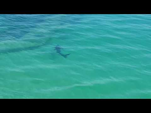 Shark Swims Close to the Pier in Cornwall