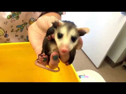 Baby opossums miraculously rescued from decomposing dead mother