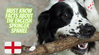 Getting To Know Your Dog's Breed: English Springer Spaniel Edition