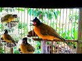 Burung Kutilang Emas Betina Gacor Suara Tajam Memanggil Jantan  Mp3 - Mp4 Download