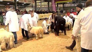 Pencampwriaeth Defaid Mynydd Cymreig   Welsh Mountain Sheep Champ