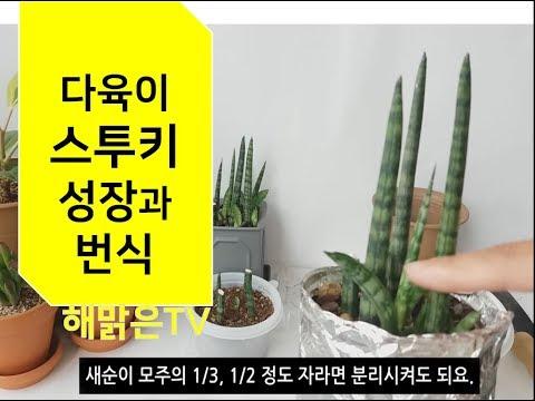 스투키(다육이 succulent) 새순 떼기, 스투키 번�
