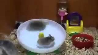 Śmieszne szalone chomiki na talerzu obrotowym - CRAZY HAMSTER