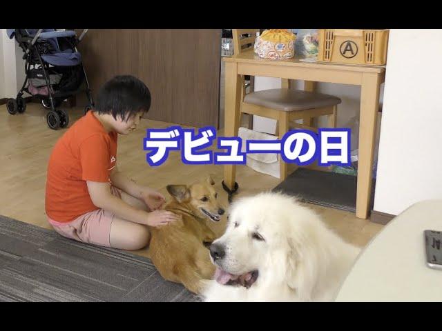 セラピードッグ コロ太デビュー MIX犬 グレートピレニーズ