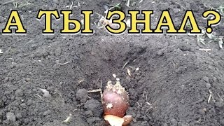 видео На каком расстоянии сажать картофель: технология посадки овоща