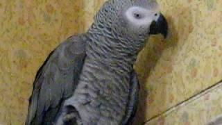 Попугай- бэк вокал