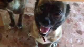 琉球犬みたいなミックス犬 散歩帰りでおつかれモード ゆうこときかなーい.