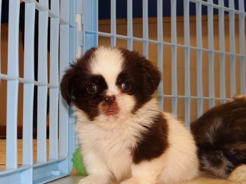 Shih Tzu, Puppies, Dogs, For Sale, In Gulfport ...