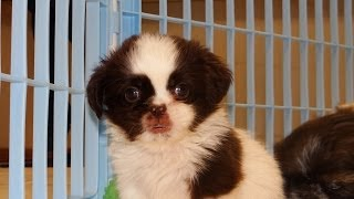 Shih Tzu, Puppies, For, Sale, In, Southaven, Mississippi, County, Ms, Meridian, Biloxi, Hattiesburg
