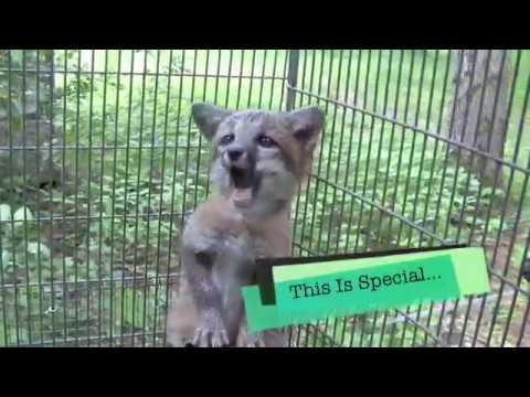 Baby Grey Fox Rescued