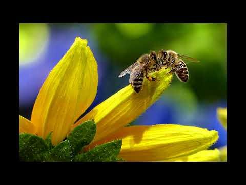 ambiance sonore bourdonnement des abeilles