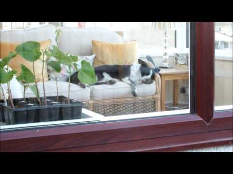 Grow organic potatoes in Seaweed and leaves in pots on your patio Part 2.