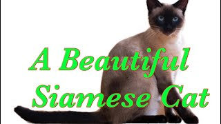 A Protective, Smart Siamese Cat