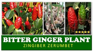 Zingiber zerumbet  | Bitter ginger  plant | Amazing herbal plants in Sri Lanka