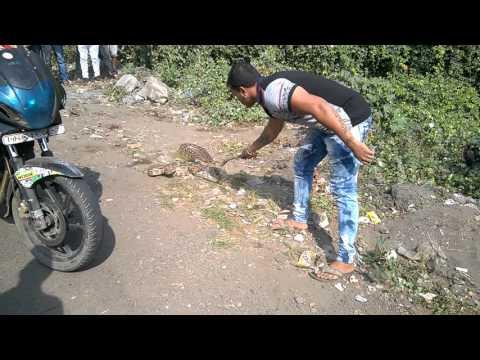 Indian Python caught @ Godbunder Road, Thane Maharashtra