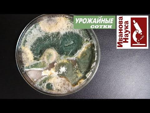 Как вырастить пенициллин в домашних условиях