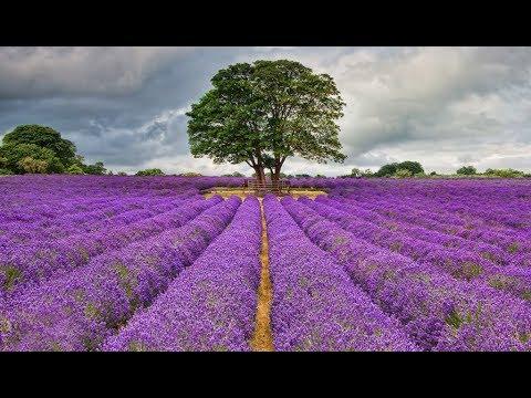 Mayfield Lavender Farm near London  - Day Trip