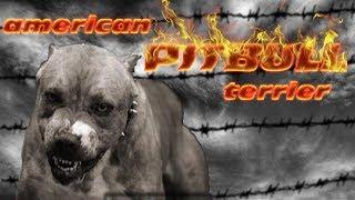 El auténtico American Pitbull Terrier, su carácter, mitos, entrenamientos y el GAME