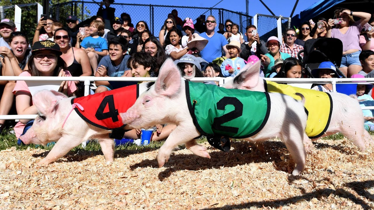 an-inside-look-at-the-all-alaskan-racing-pigs