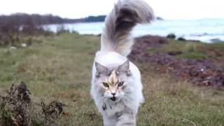 Molly, the Maine coon cat on a walk