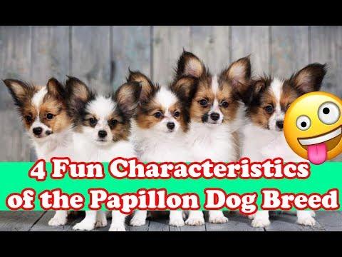 4 Fun Characteristics of the Papillon Dog Breed dog fans