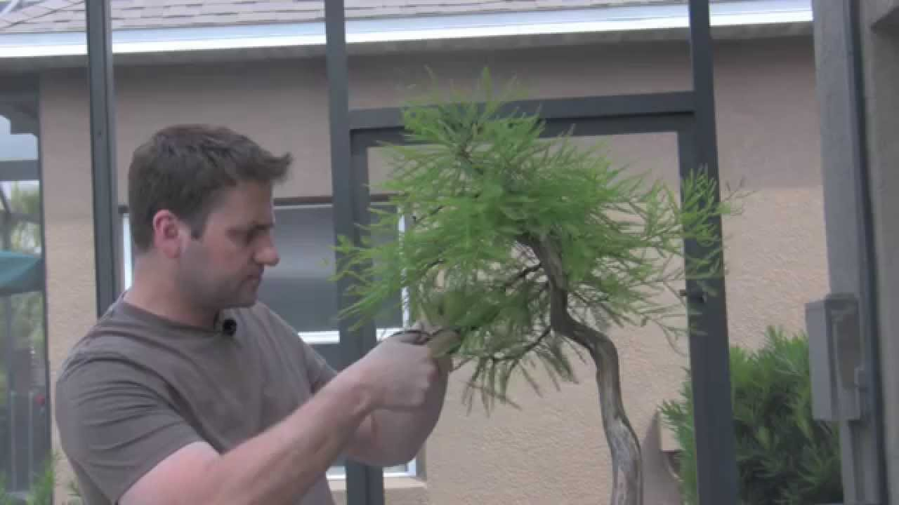 How To Bonsai Trimming Tree Care Youtube Wiring Demo