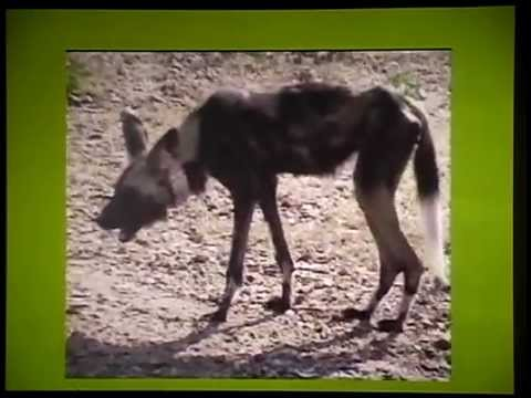 Painted Dog Conservation Project