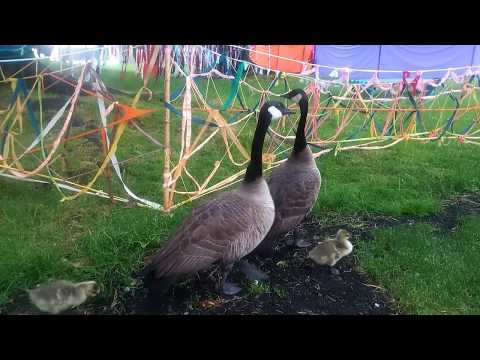 Canadian geese with offspring in Vancouver, south sea wall