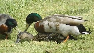 Mallard Duck Mating With Slow Motion - Duck Mating ( Add Music )