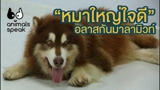 อลาสกัน มาลามิวท์ หมาใหญ่ใจดี : Animals Speak [by Mahidol]
