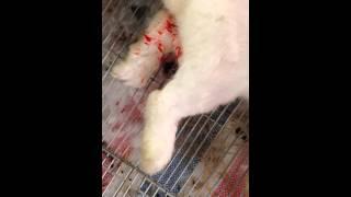 Kĩ thuật Nuôi thỏ sinh sản - chăm sóc thỏ đẻ