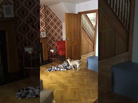 Dog gets confused by blanket magic trick