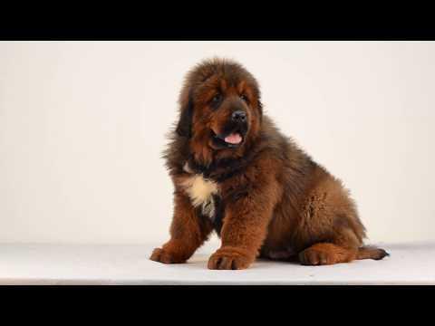 Tibetan Mastiff Puppies Daggo Asantiko