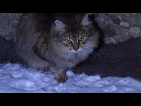 Fluffy cat running on the snow