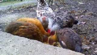Kwoka z kurczętami przy jedzeniu