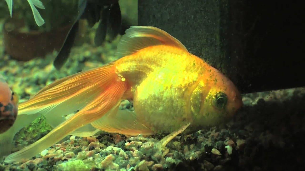 Mon poisson rouge basile s 39 en va dormir youtube for Koi ou poisson rouge