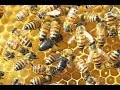 WAKE UP CALL l Ban The Killing Of Bee The Endangered Species