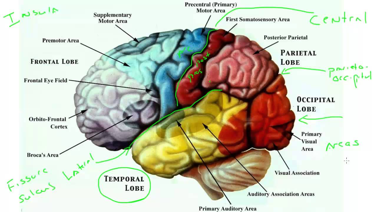 cerebral cortex - Yolar.cinetonic.co
