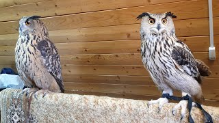 Eagle Owl Yoll visiting the Eagle owl Varvara. TwoSOVochka!