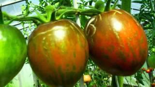 семена тыквы купить(Редкие семена помидор! Семена почтой http://фечшоп.рф., 2015-10-25T08:30:31.000Z)