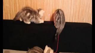 ПРОДАЖА! Британцы котята Видео 2(ПРОДАЖА! Британцы котята Видео 2., 2012-12-17T10:44:53.000Z)