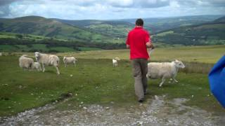 Sheep Eating Welsh Cakes In Brecon Beacons