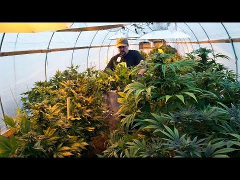 Tour a marijuana growing operation in Kasilof, Alaska